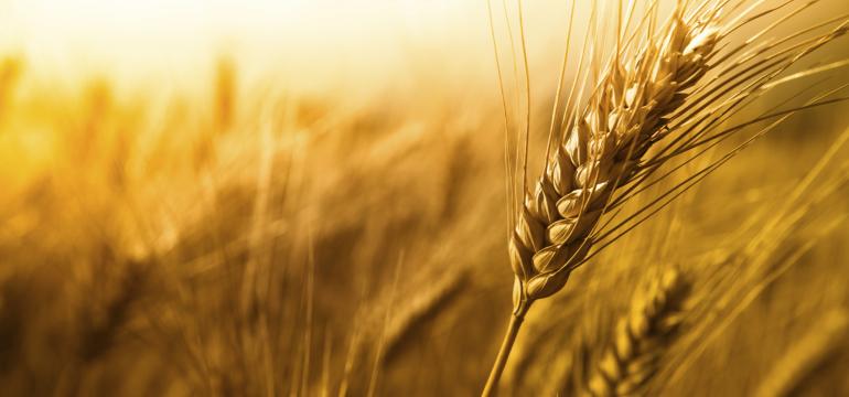 wheat2808