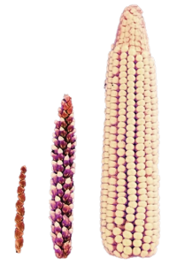 Selective breeding has resulted in the exposed corn kernels we are used to (right) from the small grass seed pods of the original teosinte (left). (Source: Gewin, 2003)