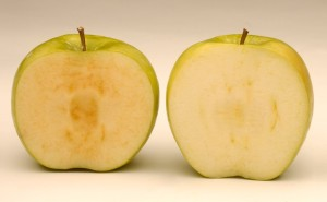 Arctic apples were recently deemed safe by the FDA. Arctic apples (right) have lowered expression of the gene for polyphenol oxidase (PPO) which causes conventional apples to turn brown (left). (Source: www.arcticapples.com)