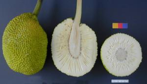 What breadfruit looks like when you cut it open.