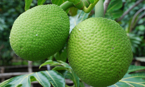 Breadfruit Feature
